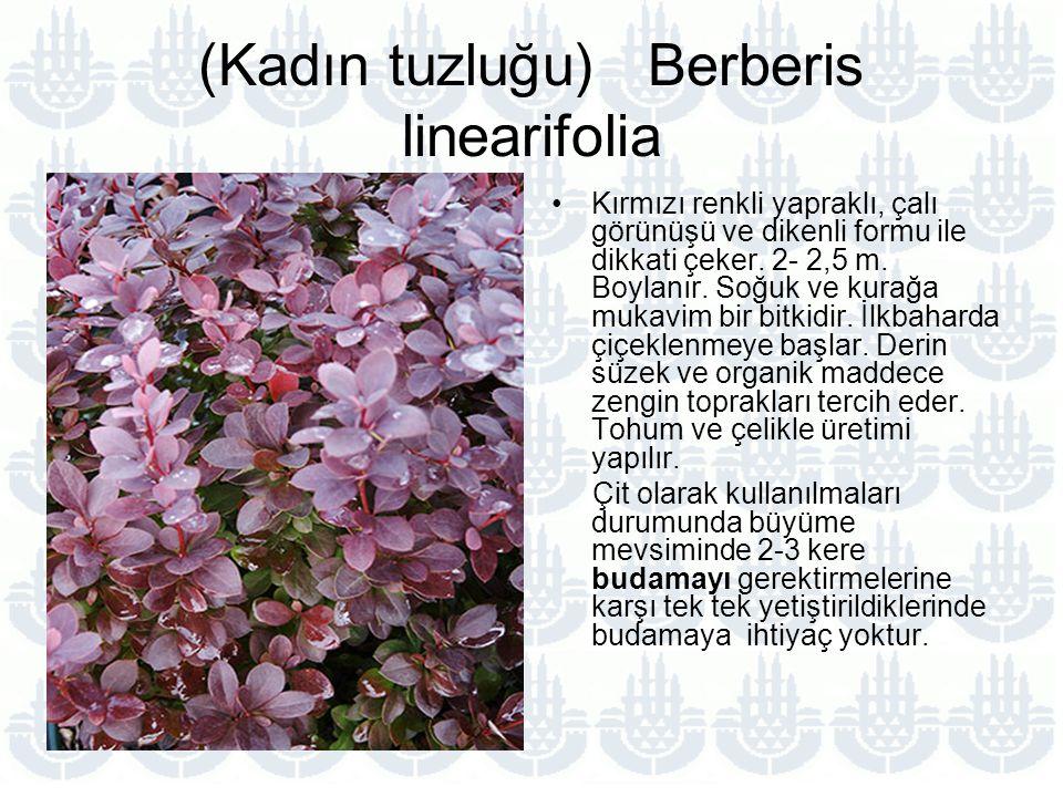 (Kadın tuzluğu) Berberis linearifolia Kırmızı renkli yapraklı, çalı görünüşü ve dikenli formu ile dikkati çeker.