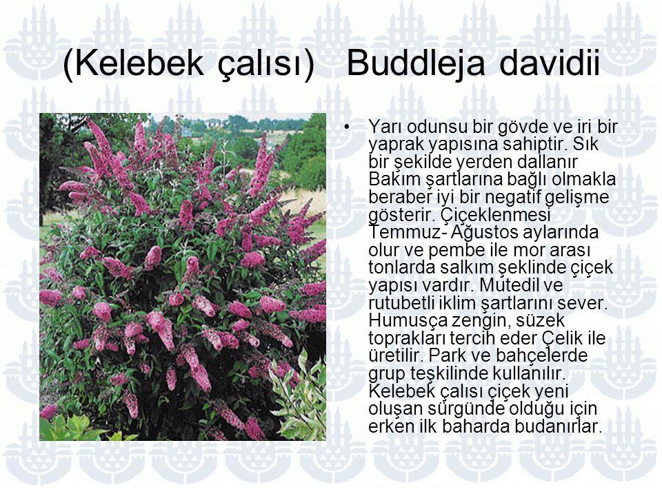 (Kelebek çalısı) Buddleja davidii Yarı odunsu bir gövde ve iri bir yaprak yapısına sahiptir.