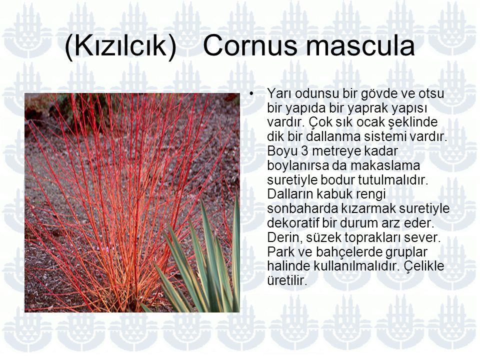 (Kızılcık) Cornus mascula Yarı odunsu bir gövde ve otsu bir yapıda bir yaprak yapısı vardır.
