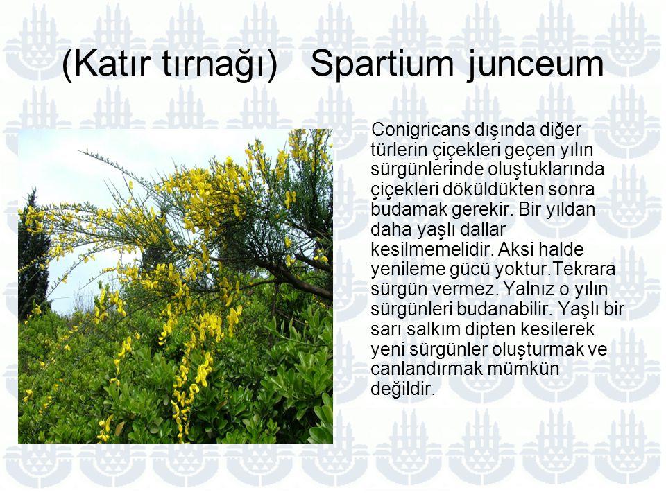 (Katır tırnağı) Spartium junceum Conigricans dışında diğer türlerin çiçekleri geçen yılın sürgünlerinde oluştuklarında çiçekleri döküldükten sonra budamak gerekir.