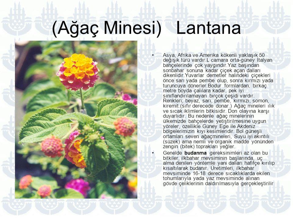 (Ağaç Minesi) Lantana Asya, Afrika ve Amerika kökenli yaklaşık 50 değişik türü vardır.L camara orta-güney İtalyan bahçelerinde çok yaygındır.Yaz başından sonbahar sonuna kadar çiçek açan dalları dikenlidir.Yuvarlar demetler halindeki çiçekleri önce sarı yada pembe olup, sonra kırmızı yada turuncuya dönerler.Bodur formlardan, birkaç metre boyda çalılara kadar, pek iyi sınıflandırılamayan birçok çeşidi vardır.