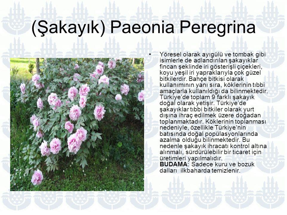 (Şakayık) Paeonia Peregrina Yöresel olarak ayıgülü ve tombak gibi isimlerle de adlandırılan şakayıklar fincan şeklinde iri gösterişli çiçekleri, koyu yeşil iri yapraklarıyla çok güzel bitkilerdir.
