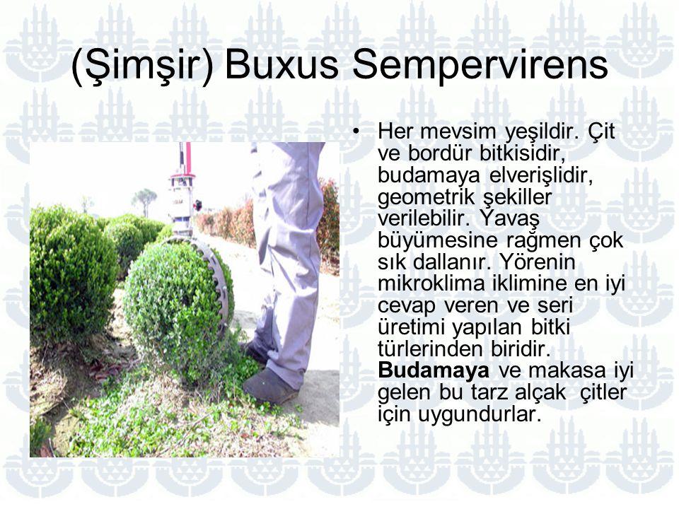 (Şimşir) Buxus Sempervirens Her mevsim yeşildir.