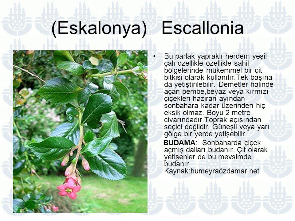 (Eskalonya) Escallonia Bu parlak yapraklı herdem yeşil çalı özellikle özellikle sahil bölgelerinde mükemmel bir çit bitkisi olarak kullanılır.Tek başına da yetiştirilebilir.