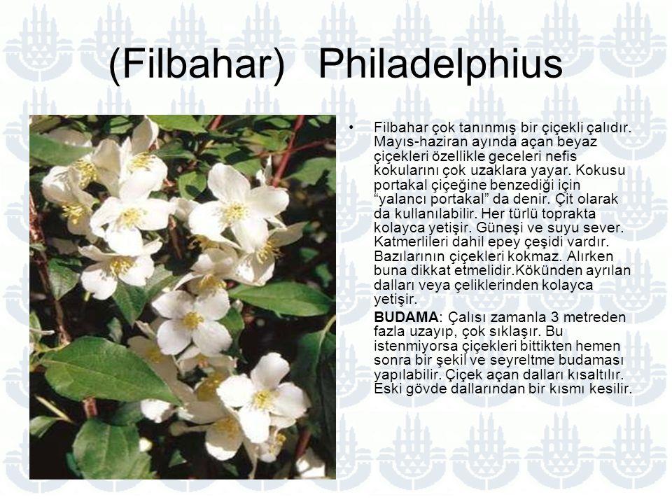 (Filbahar) Philadelphius Filbahar çok tanınmış bir çiçekli çalıdır.