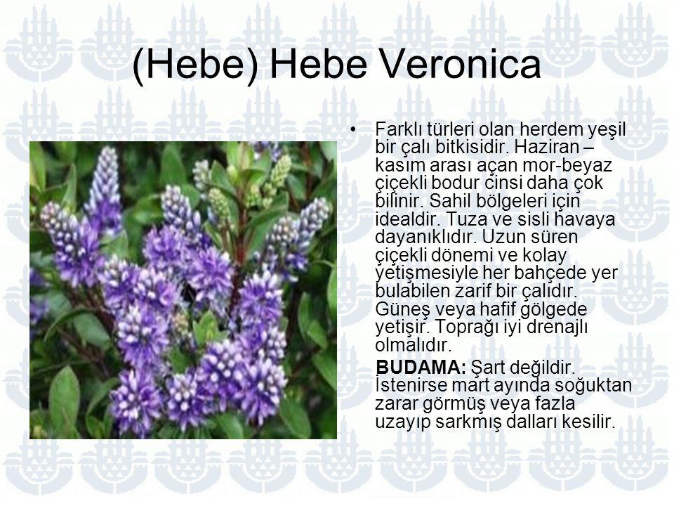 (Hebe) Hebe Veronica Farklı türleri olan herdem yeşil bir çalı bitkisidir.