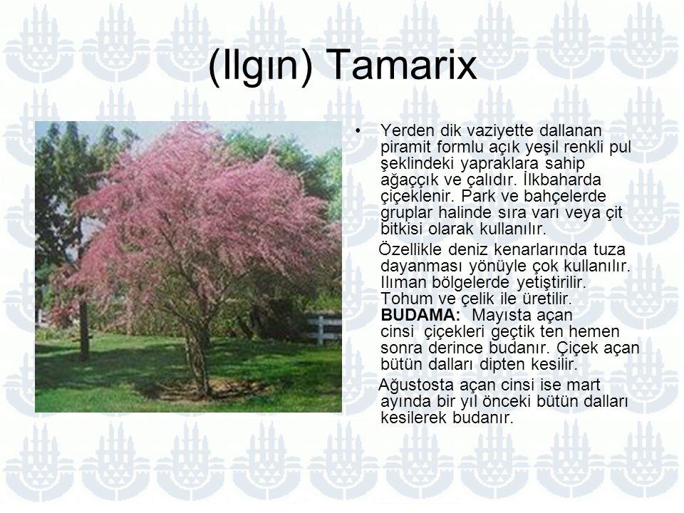 (Ilgın) Tamarix Yerden dik vaziyette dallanan piramit formlu açık yeşil renkli pul şeklindeki yapraklara sahip ağaççık ve çalıdır.