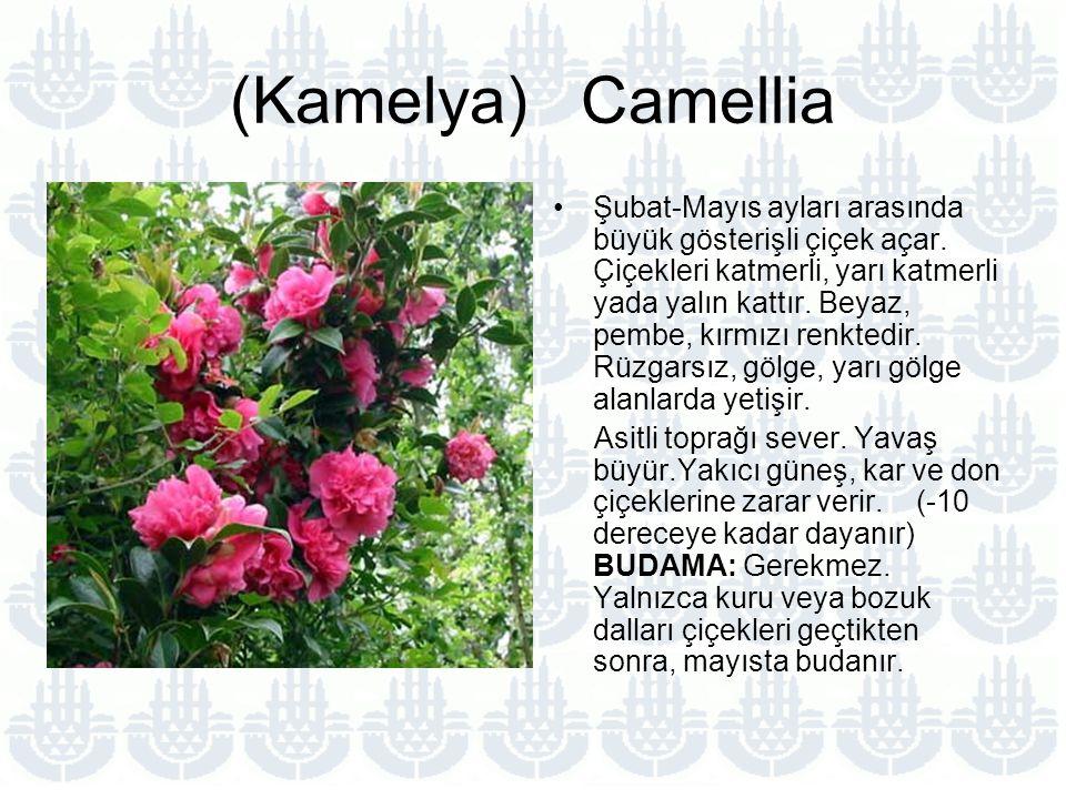 (Kamelya) Camellia Şubat-Mayıs ayları arasında büyük gösterişli çiçek açar.