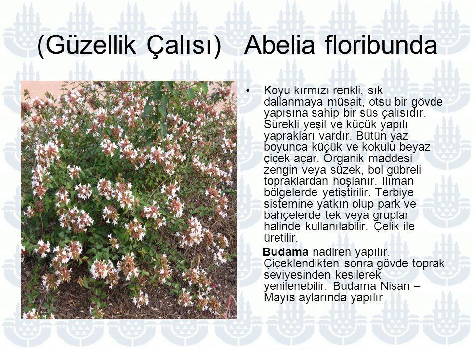 (Güzellik Çalısı) Abelia floribunda Koyu kırmızı renkli, sık dallanmaya müsait, otsu bir gövde yapısına sahip bir süs çalısıdır.