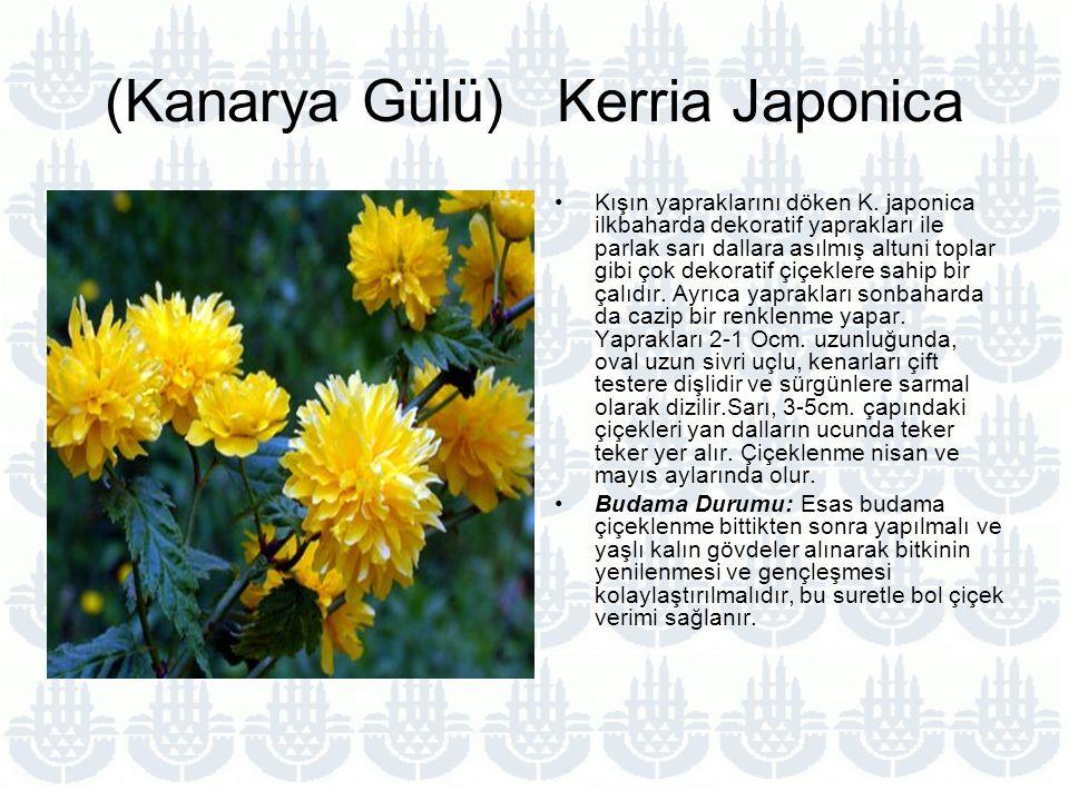 (Kanarya Gülü) Kerria Japonica Kışın yapraklarını döken K.