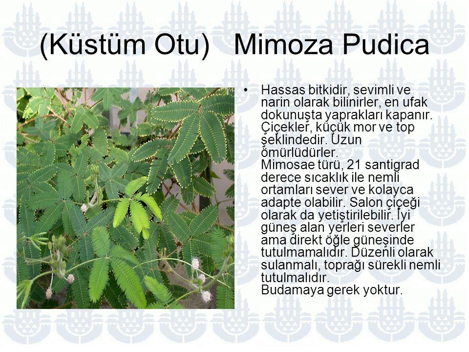 (Küstüm Otu) Mimoza Pudica Hassas bitkidir, sevimli ve narin olarak bilinirler, en ufak dokunuşta yaprakları kapanır.