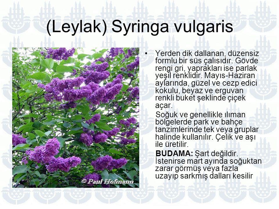 (Leylak) Syringa vulgaris Yerden dik dallanan, düzensiz formlu bir süs çalısıdır.