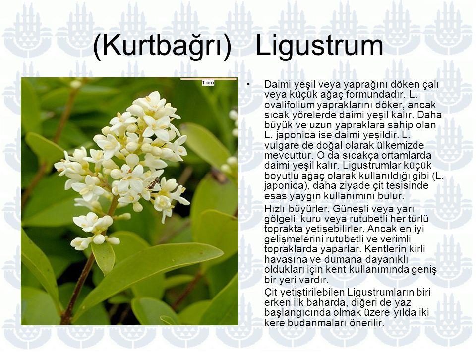 (Kurtbağrı) Ligustrum Daimi yeşil veya yaprağını döken çalı veya küçük ağaç formundadır.