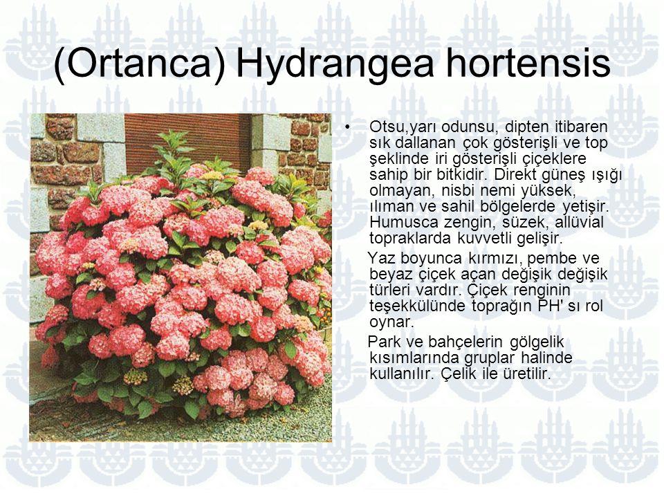 (Ortanca) Hydrangea hortensis Otsu,yarı odunsu, dipten itibaren sık dallanan çok gösterişli ve top şeklinde iri gösterişli çiçeklere sahip bir bitkidir.