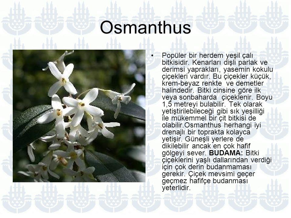 Osmanthus Popüler bir herdem yeşil çalı bitkisidir.