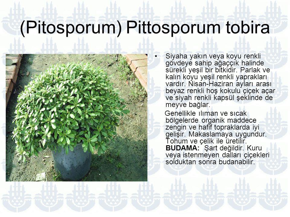 (Pitosporum) Pittosporum tobira Siyaha yakın veya koyu renkli gövdeye sahip ağaççık halinde sürekli yeşil bir bitkidir.