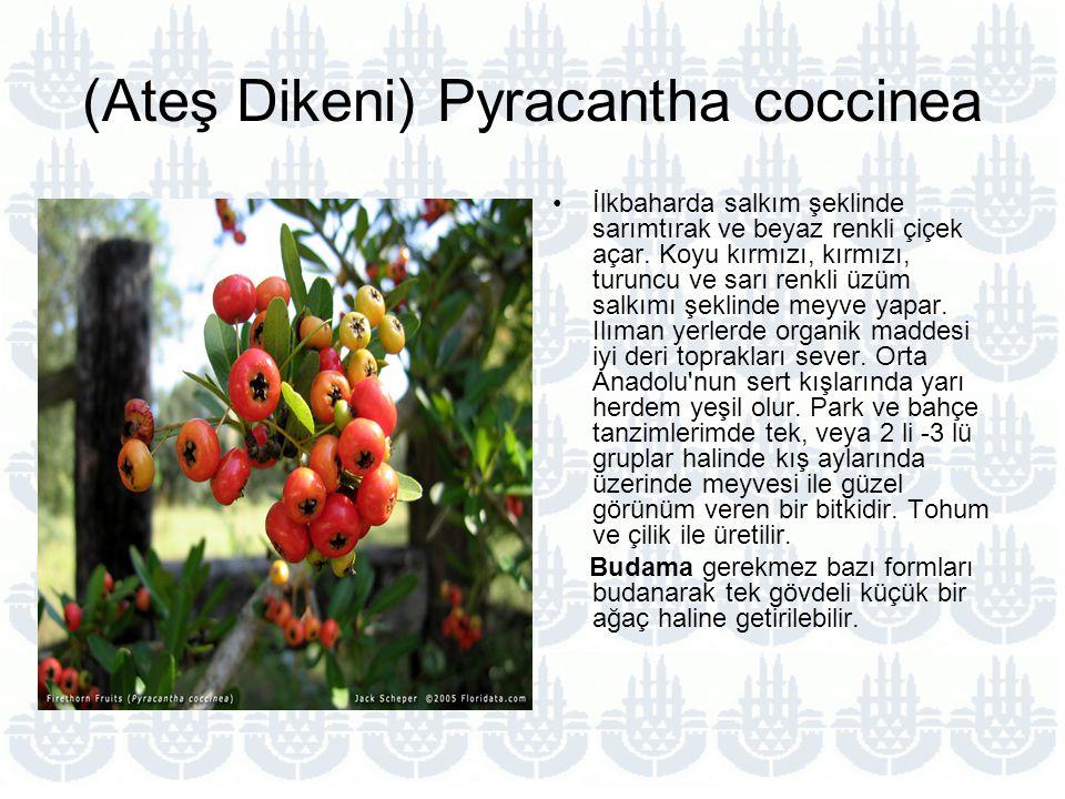 (Ateş Dikeni) Pyracantha coccinea İlkbaharda salkım şeklinde sarımtırak ve beyaz renkli çiçek açar.