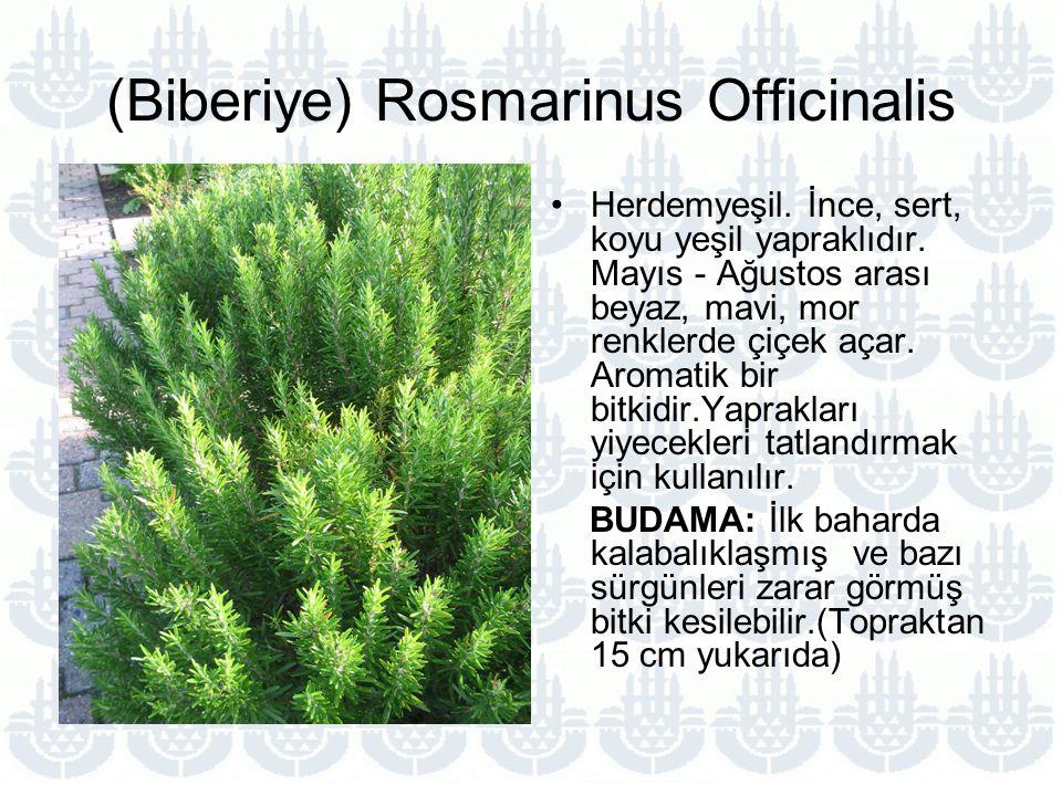 (Biberiye) Rosmarinus Officinalis Herdemyeşil.İnce, sert, koyu yeşil yapraklıdır.