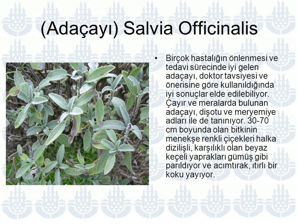 (Adaçayı) Salvia Officinalis Birçok hastalığın önlenmesi ve tedavi sürecinde iyi gelen adaçayı, doktor tavsiyesi ve önerisine göre kullanıldığında iyi sonuçlar elde edilebiliyor.