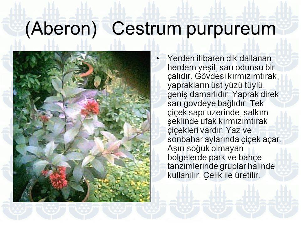 (Aberon) Cestrum purpureum Yerden itibaren dik dallanan, herdem yeşil, sarı odunsu bir çalıdır.