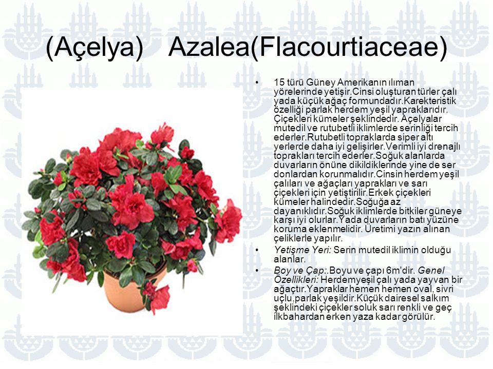 (Açelya) Azalea(Flacourtiaceae) 15 türü Güney Amerikanın ılıman yörelerinde yetişir.Cinsi oluşturan türler çalı yada küçük ağaç formundadır.Karekteristik özelliği parlak herdem yeşil yapraklarıdır.