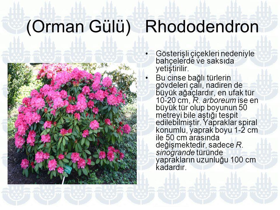 (Orman Gülü) Rhododendron Gösterişli çiçekleri nedeniyle bahçelerde ve saksıda yetiştirilir.