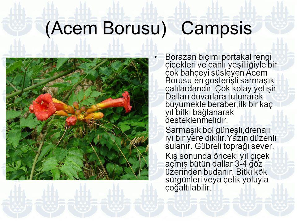 (Acem Borusu) Campsis Borazan biçimi portakal rengi çiçekleri ve canlı yeşilliğiyle bir çok bahçeyi süsleyen Acem Borusu,en gösterişli sarmaşık çalılardandır.
