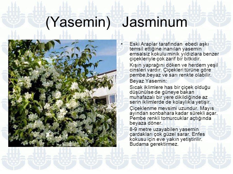 (Yasemin) Jasminum Eski Araplar tarafından ebedi aşkı temsil ettiğine inanılan yasemin emsalsiz kokulu minik yıldızlara benzer çiçekleriyle çok zarif bir bitkidir.