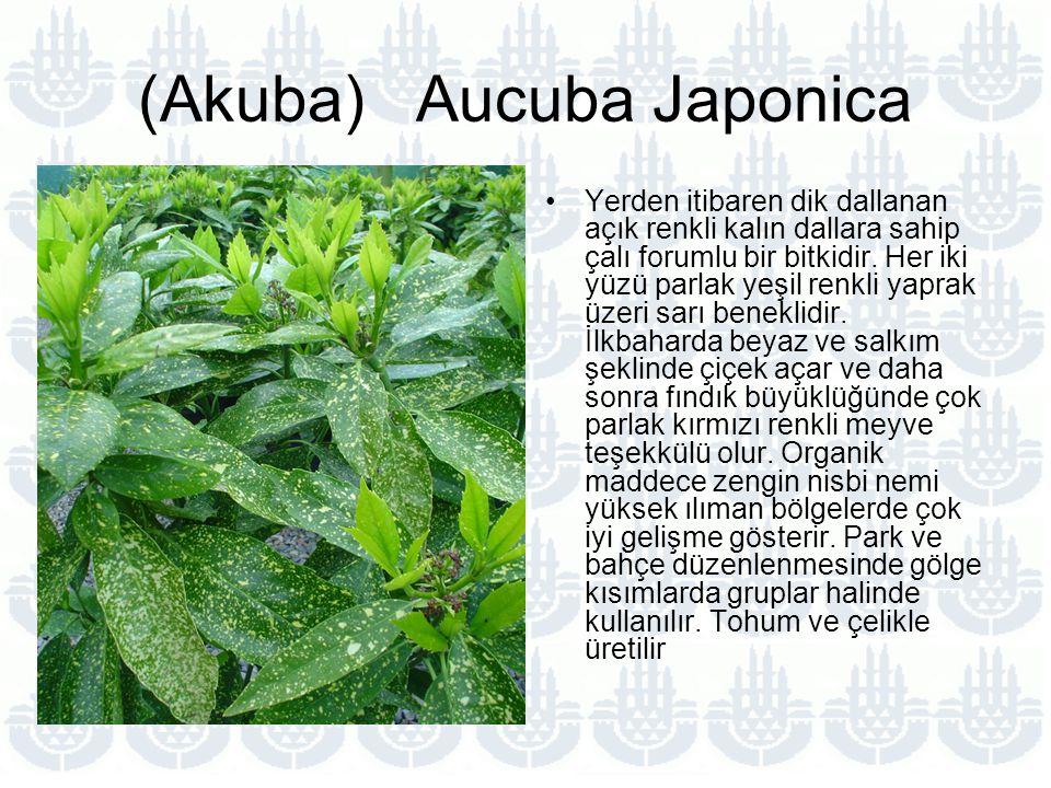 (Akuba) Aucuba Japonica Yerden itibaren dik dallanan açık renkli kalın dallara sahip çalı forumlu bir bitkidir.