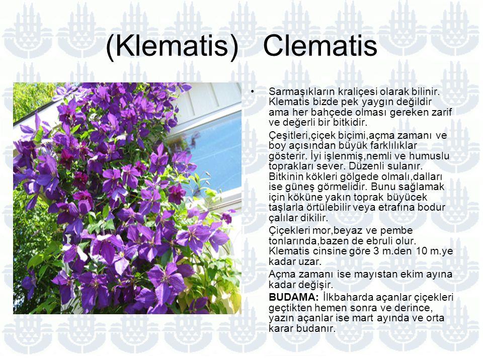 (Klematis) Clematis Sarmaşıkların kraliçesi olarak bilinir.