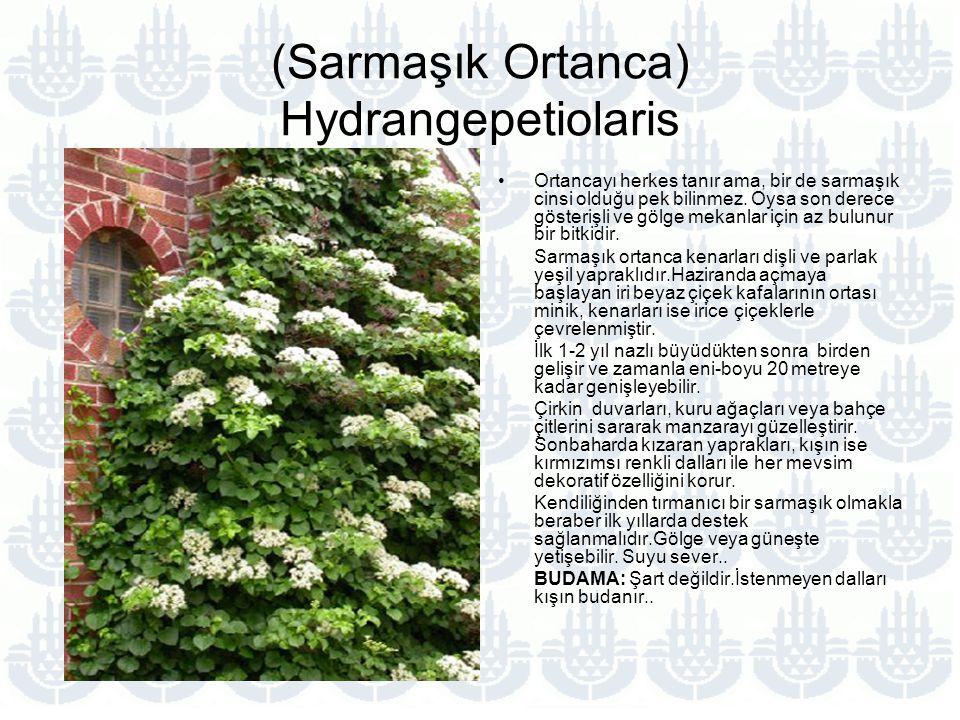 (Sarmaşık Ortanca) Hydrangepetiolaris Ortancayı herkes tanır ama, bir de sarmaşık cinsi olduğu pek bilinmez.