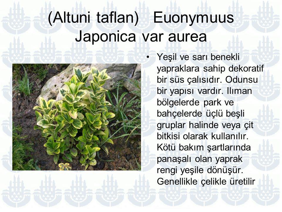 (Altuni taflan) Euonymuus Japonica var aurea Yeşil ve sarı benekli yapraklara sahip dekoratif bir süs çalısıdır.