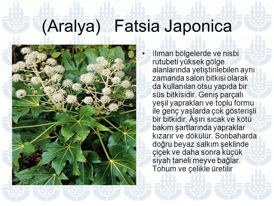 (Aralya) Fatsia Japonica Ilıman bölgelerde ve nisbi rutubeti yüksek gölge alanlarında yetiştirilebilen aynı zamanda salon bitkisi olarak da kullanılan otsu yapıda bir süs bitkisidir.