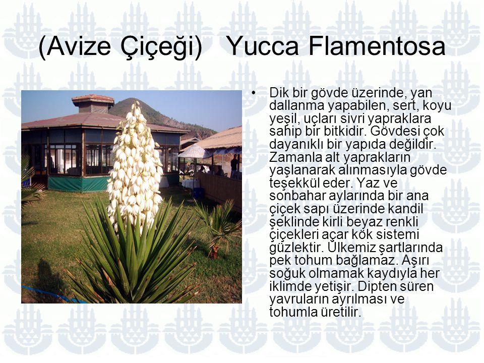 (Avize Çiçeği) Yucca Flamentosa Dik bir gövde üzerinde, yan dallanma yapabilen, sert, koyu yeşil, uçları sivri yapraklara sahip bir bitkidir.