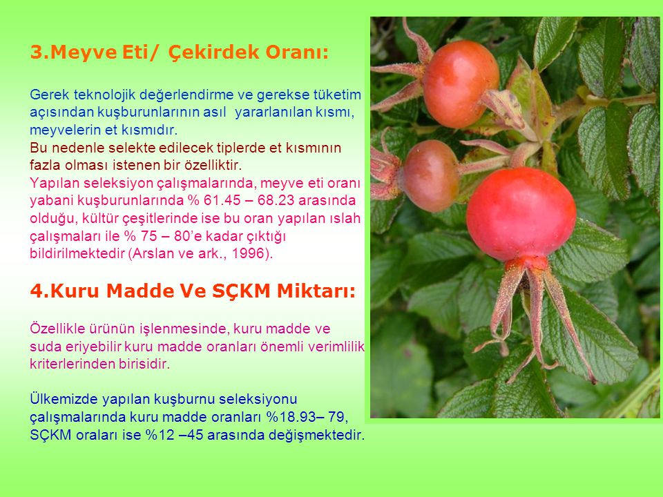 3.Meyve Eti/ Çekirdek Oranı: Gerek teknolojik değerlendirme ve gerekse tüketim açısından kuşburunlarının asıl yararlanılan kısmı, meyvelerin et kısmıd