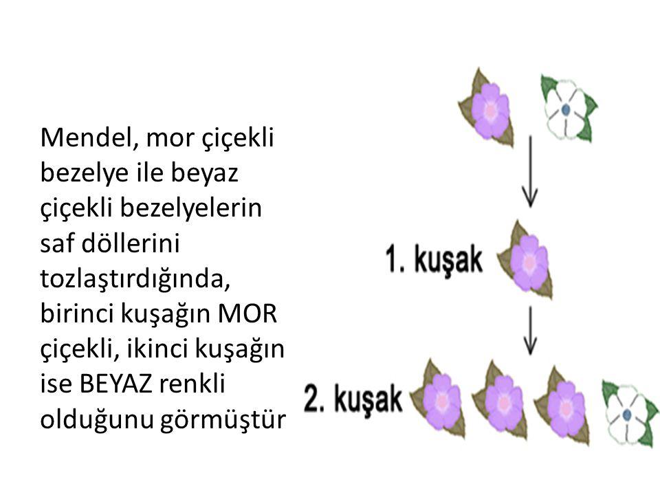 Mendel, mor çiçekli bezelye ile beyaz çiçekli bezelyelerin saf döllerini tozlaştırdığında, birinci kuşağın MOR çiçekli, ikinci kuşağın ise BEYAZ renkl