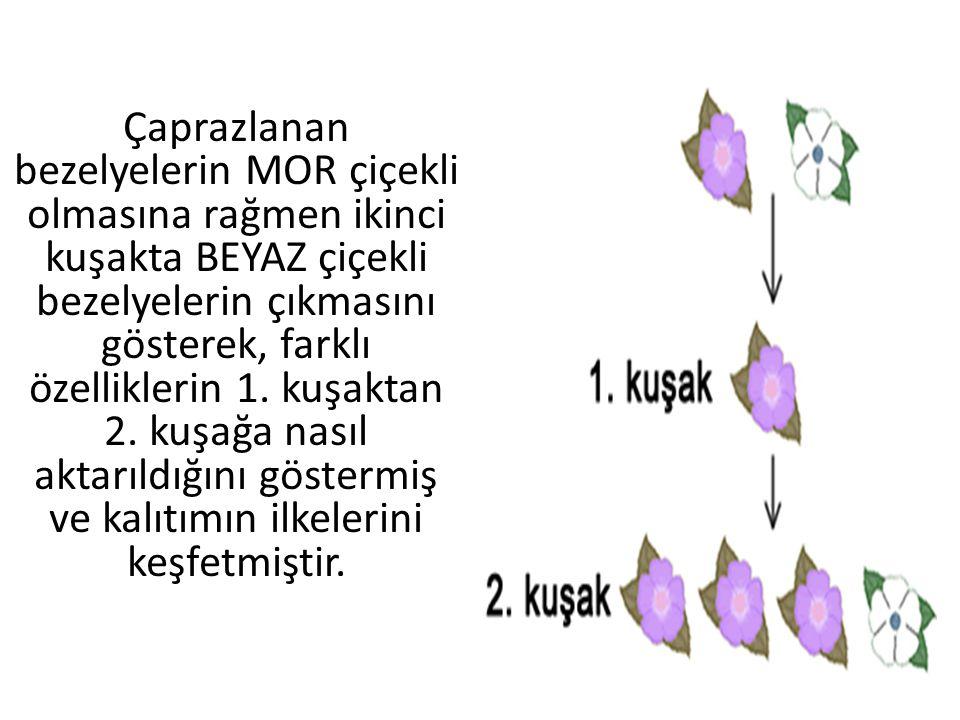 Çaprazlanan bezelyelerin MOR çiçekli olmasına rağmen ikinci kuşakta BEYAZ çiçekli bezelyelerin çıkmasını gösterek, farklı özelliklerin 1. kuşaktan 2.