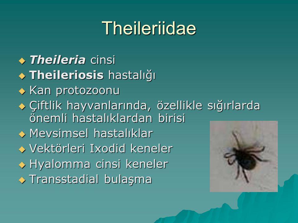 Theileriidae  Theileria cinsi  Theileriosis hastalığı  Kan protozoonu  Çiftlik hayvanlarında, özellikle sığırlarda önemli hastalıklardan birisi 