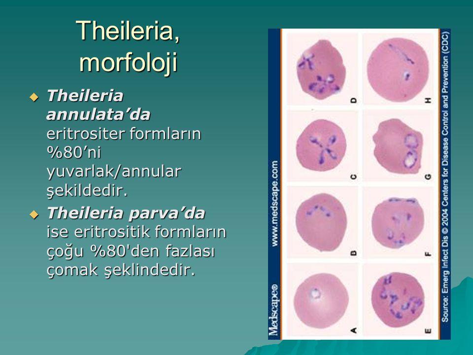 Theileria, morfoloji  Theileria annulata'da eritrositer formların %80'ni yuvarlak/annular şekildedir.  Theileria parva'da ise eritrositik formların