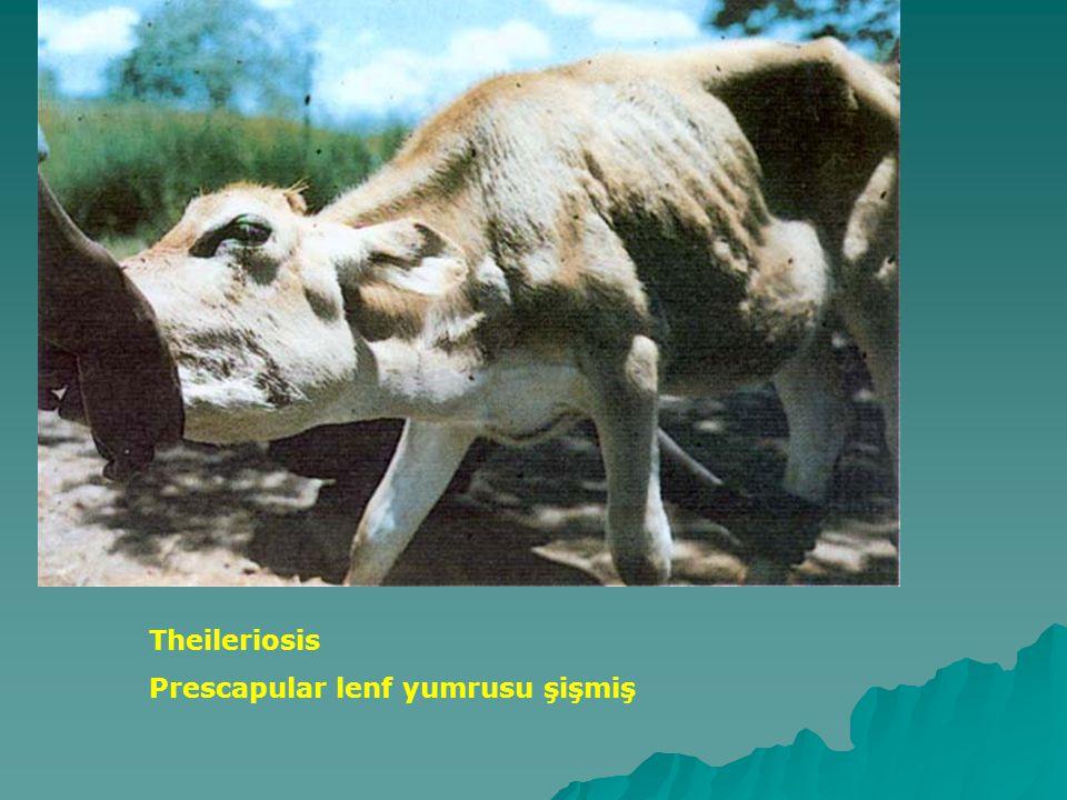 Theileriosis Prescapular lenf yumrusu şişmiş