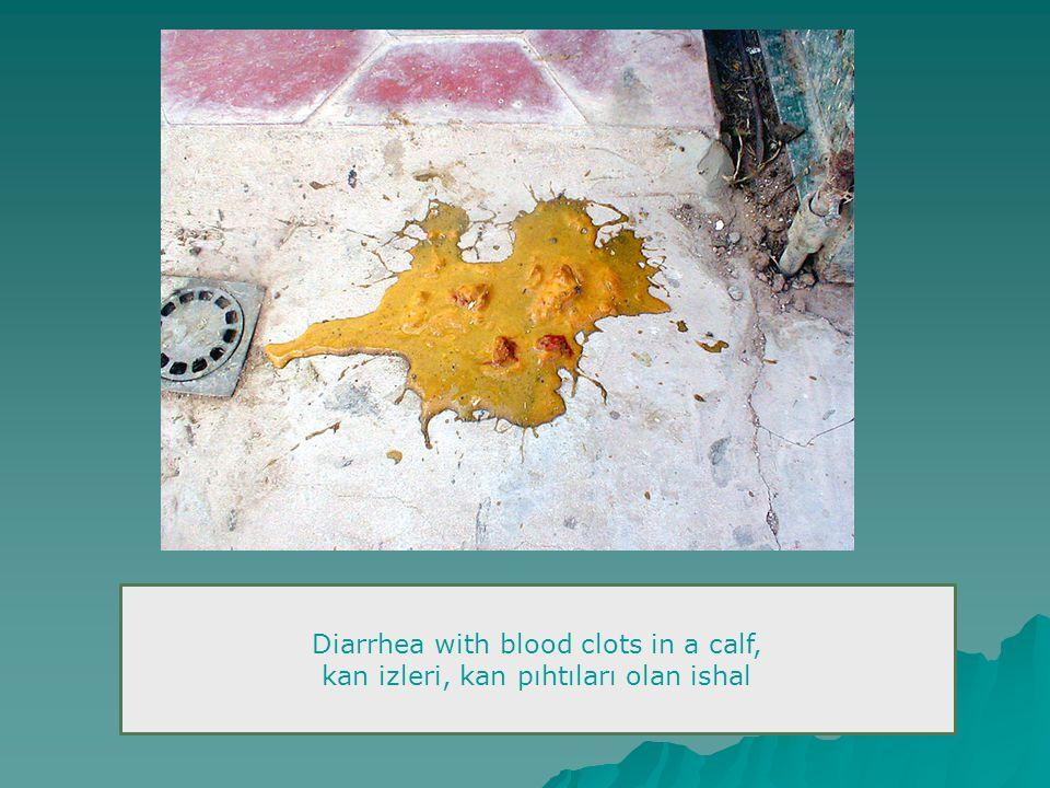 Diarrhea with blood clots in a calf, kan izleri, kan pıhtıları olan ishal