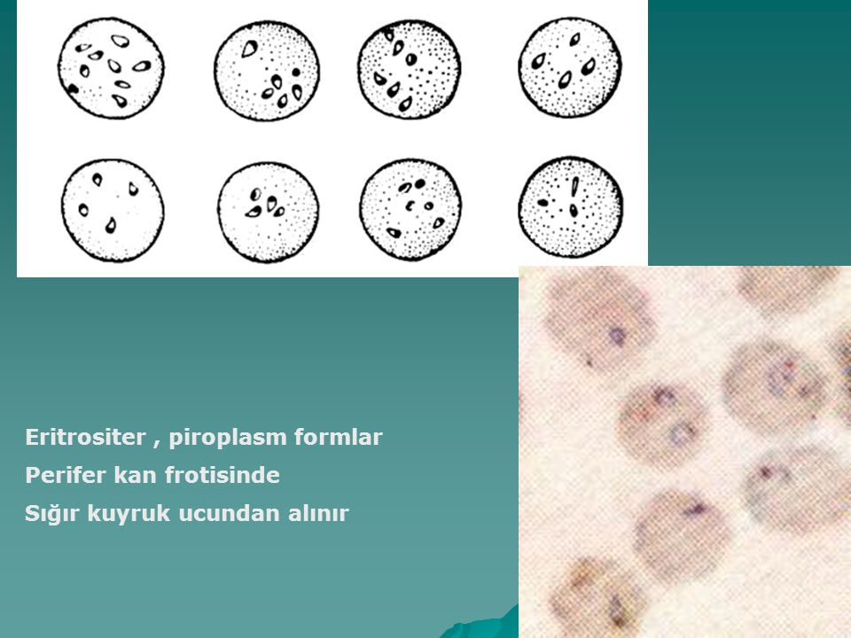 Eritrositer, piroplasm formlar Perifer kan frotisinde Sığır kuyruk ucundan alınır