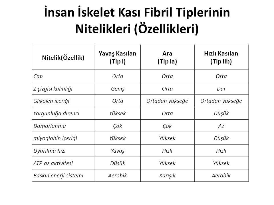 İnsan İskelet Kası Fibril Tiplerinin Nitelikleri (Özellikleri) Nitelik(Özellik) Yavaş Kasılan (Tip I) Ara (Tip Ia) Hızlı Kasılan (Tip IIb) ÇapOrta Z ç