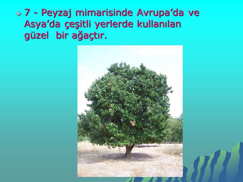  7 - Peyzaj mimarisinde Avrupa'da ve Asya'da çeşitli yerlerde kullanılan güzel bir ağaçtır.