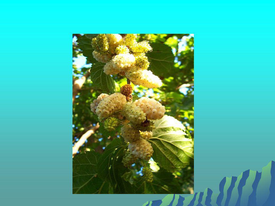  Dut yapraklarından yapılan çaylar beden ve  zihin gevşetici, rahatlatıcı olarak kullanılıyor