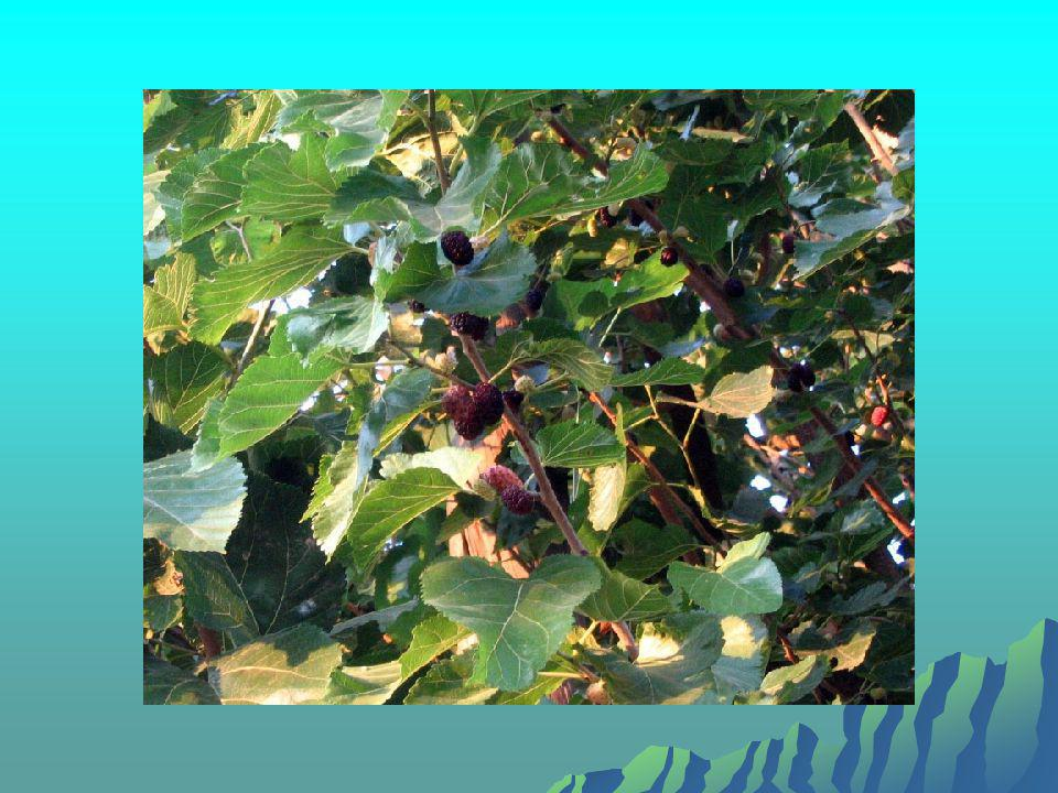  4 - Meyve suyu sanayiinde (Özelikle kara dut suyu olarak); veya beyaz dut suyu karışık meyve sularınının içinde ya da çeşitli içeceklerin doğal şekeri olarak kullanılabilir.