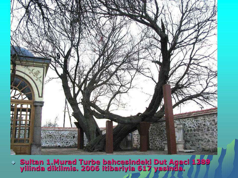  Sultan 1.Murad Turbe bahcesindeki Dut Agaci 1389 yilinda dikilmis. 2006 itibariyla 617 yasinda.
