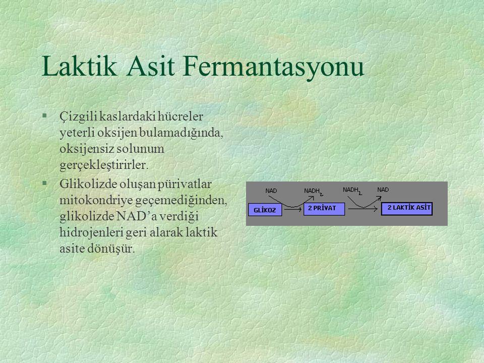 Laktik Asit Fermantasyonu §Çizgili kaslardaki hücreler yeterli oksijen bulamadığında, oksijensiz solunum gerçekleştirirler. §Glikolizde oluşan pürivat