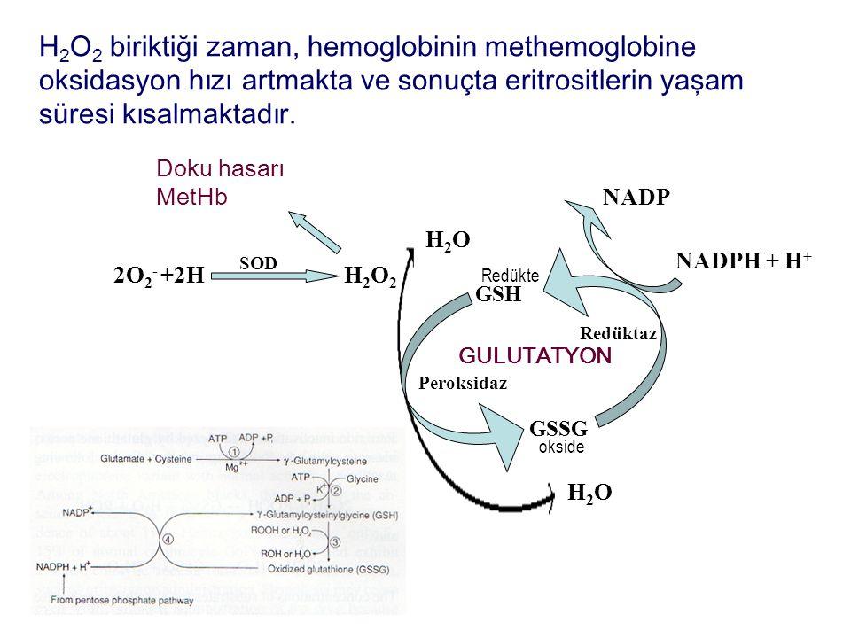 Doku hasarı MetHb H2O2H2O2 SOD 2O 2 - +2H H2OH2O H2OH2O GSH GSSG Peroksidaz Redüktaz GULUTATYON NADP NADPH + H + okside Redükte H 2 O 2 biriktiği zama