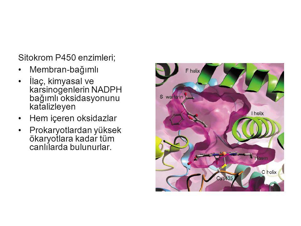 Sitokrom P450 enzimleri; Membran-bağımlı İlaç, kimyasal ve karsinogenlerin NADPH bağımlı oksidasyonunu katalizleyen Hem içeren oksidazlar Prokaryotlar